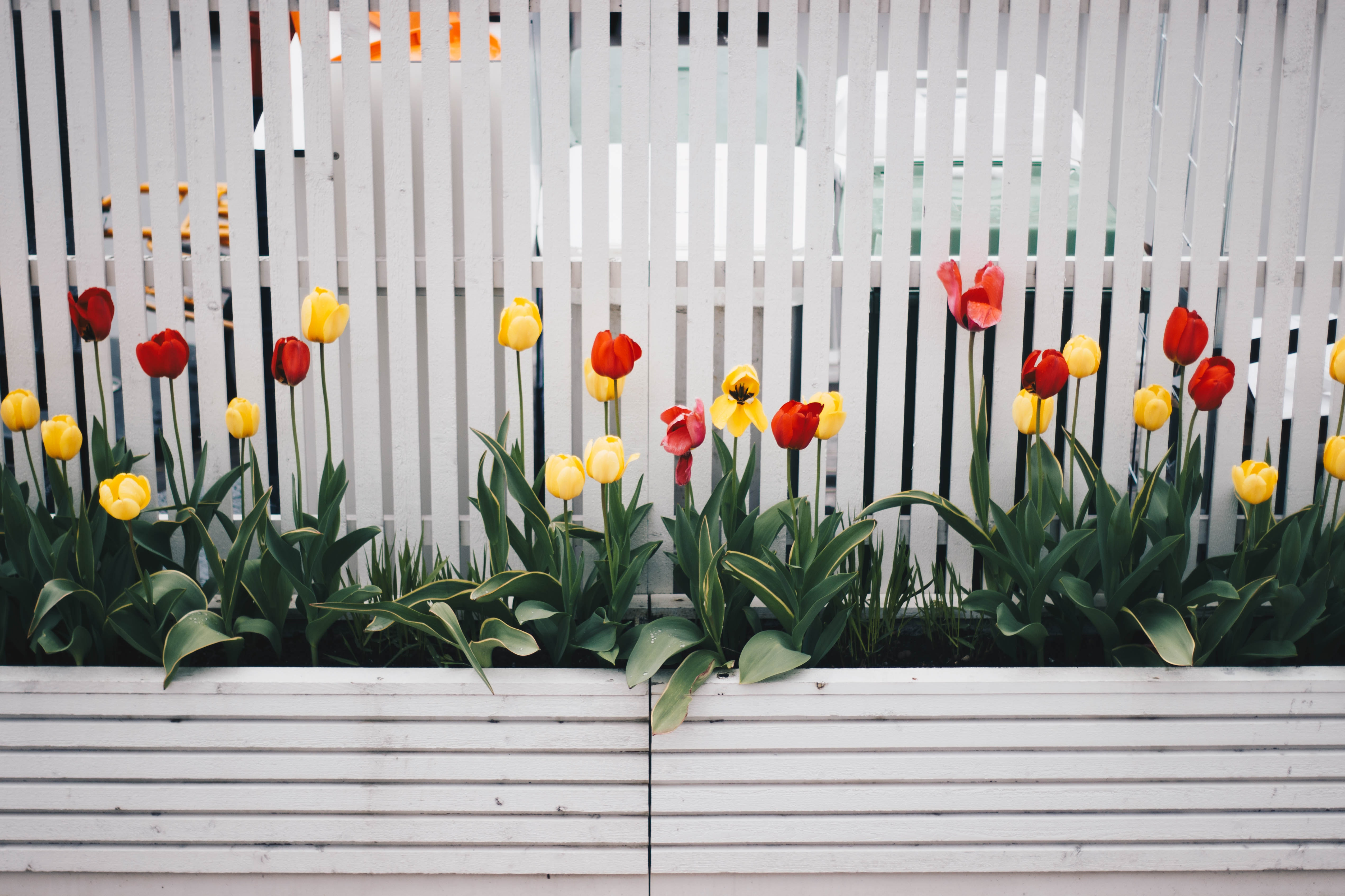 yellow-and-red-tulip-flower-plant-beside-white-fence-701758